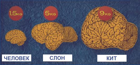Размеры мозга
